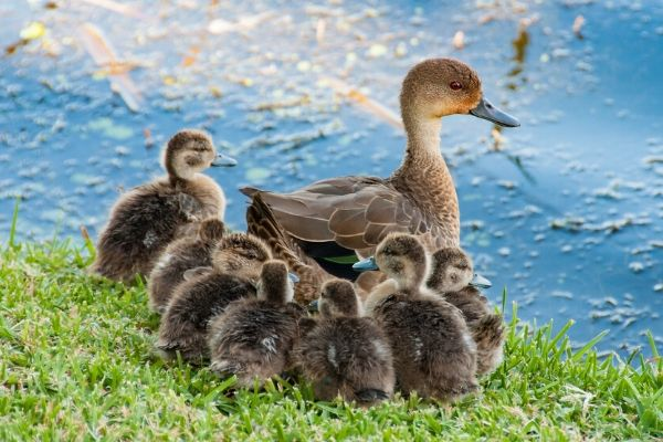 real ducklings with their mother duck just like the make way for ducklings book